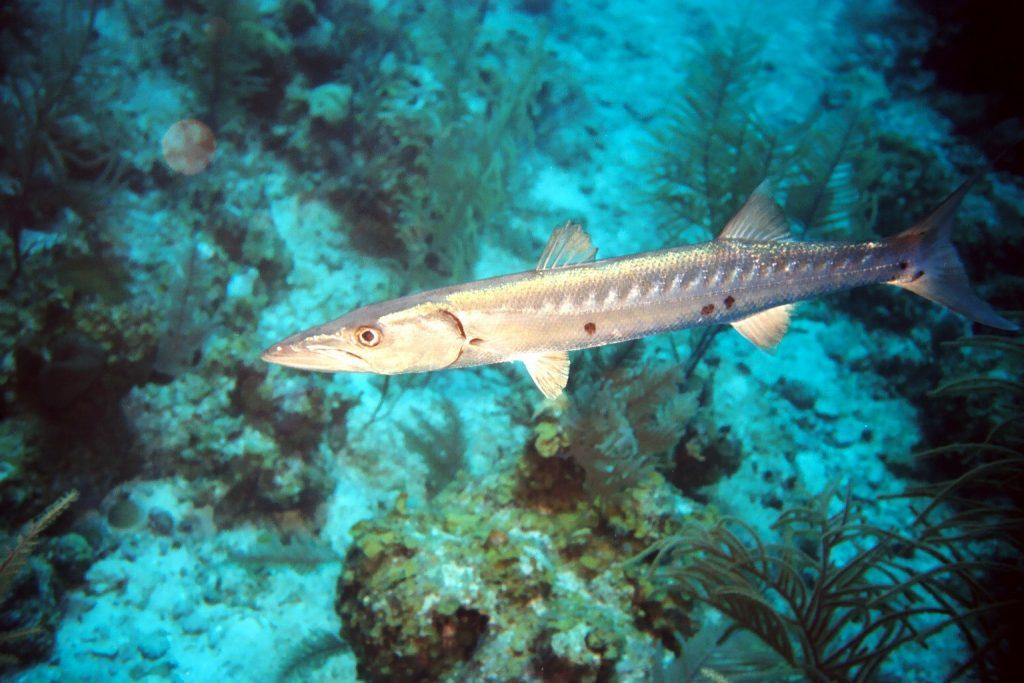 barracuda off of Eleuthera Island in the Bahamas