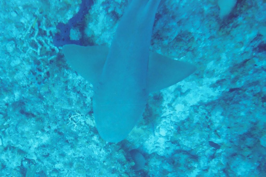 nurse shark 60 feet down and 5 feet in front of me
